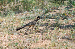Streaking Roadrunner Royalty Free Stock Images