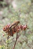 Streaky-headed Seedeater (Serinus gularis) Royalty Free Stock Photo