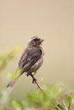 Streaky-headed Seedeater (Serinus gularis) Stock Image