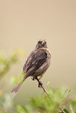 Streaky-headed Seedeater (Serinus gularis) Stock Images