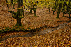 Stream in autumn forest. Scenic view of stream in beech tree forest with colorful leaves scattered on ground Stock Photos