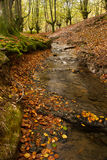 Stream and autumn forest. Scenic view of water stream running through beech tree forest in autumn Royalty Free Stock Photo