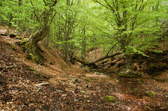 Stream in beech fores. Winding stream in mysterious beech fores Royalty Free Stock Image