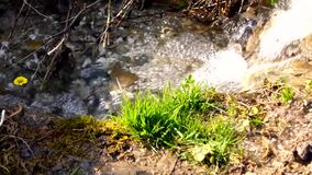 The stream with clear water gurgling in a forest clearing. Sunny spring day. There were first yellow flowers and green grass stock footage