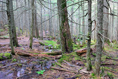 Stream in the conifer forest Royalty Free Stock Images