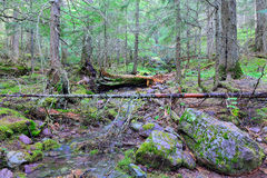 Stream in the conifer forest Royalty Free Stock Photo