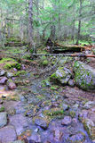 Stream in the conifer forest Stock Images