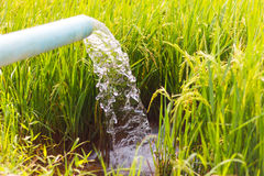 Free Stream Fed Rice Seedlings. Stock Photography - 69379672