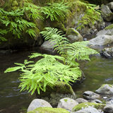 Stream with Ferns and Rocks Stock Image