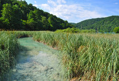 Stream with fish through high reed Stock Image