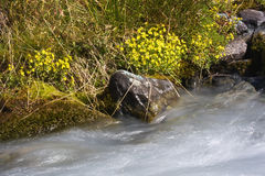 Stream with flowers. Water flowing in a mountain torrent Stock Image