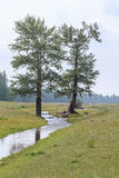 The stream flowing between the larches. Stock Images