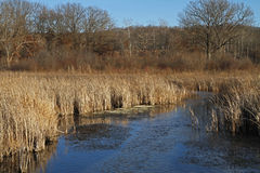 Stream Flowing Through Winter Wetlands Stock Image