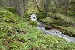 A stream flows in the forest, Italian Alps royalty free stock photography