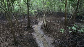 Stream flows of the root system of mangroves. On a cloudy day stock footage