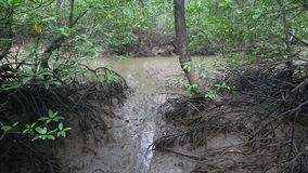 Stream flows of the root system of mangroves. On a cloudy day stock video