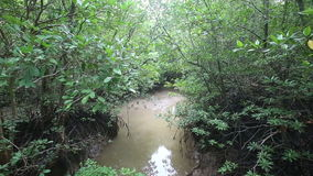 Stream flows of the root system of mangroves. On a cloudy day stock video footage