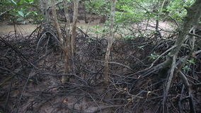 Stream flows of the root system of mangroves Royalty Free Stock Photo