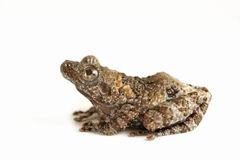 Stream Frog Royalty Free Stock Images