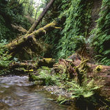 Stream In Fern Canyon Royalty Free Stock Photography