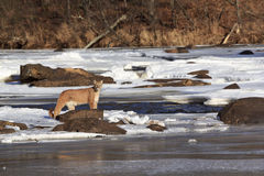By the stream. Male tom mountain lion by frozen stream Stock Photo