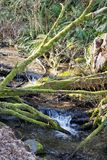 Stream meandering through the forest. Fallen trees make natural bridges over a small forest stream as it winds it`s way through Seahurst park near Seattle to stock images