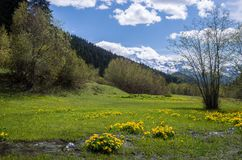 A stream in a mountain valley on a sunny day against the background of snow-capped mountains. Meadow with yellow flowers.  stock photography