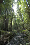 Stream in Muir woods. Muir woods national monument, Marin county, California royalty free stock image