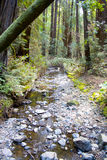 Stream through Muir Woods. A small stream that runs through Muir Woods in California Royalty Free Stock Photo