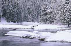 Stream and Pine Trees in Snow Royalty Free Stock Image