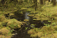 A Stream in the Rain Forest. A fresh cold water stream in the rain forest Royalty Free Stock Photo