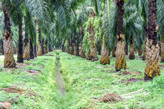 A stream running through the oil palm plantation. For treating water Royalty Free Stock Image