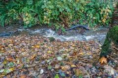 Stream At Seahurst Park. A stream rushes toward the Puget Sound at Seahurst Park in Burien, Washington stock photos