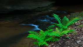 Stream side Ferns Royalty Free Stock Photos