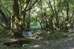 Stream in sycamore grove Royalty Free Stock Images
