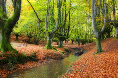 Stream through the trees in a beautiful beech forest in autumn Royalty Free Stock Images