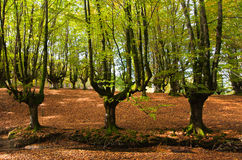 Stream through the trees imn, Otzarreta, n a beautiful beech forest in autumn Royalty Free Stock Photos
