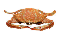 Streamed / boiled Flower crab / Blue crab / Blue swimmer crab / Blue manna crab / Sand crab / seafood Royalty Free Stock Photo