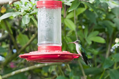 Streamer tailed hummingbird (female) royalty free stock photography