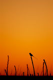 Streamer-tailed Tyrant. (Gubernetes yetapa) backlit at dusk Stock Images