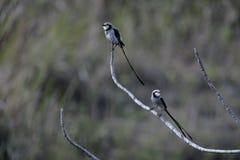 Streamer-tailed tyrant, Gubernetes yetapa Royalty Free Stock Photography