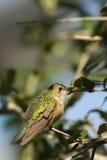 Streamertail hummingbird Royalty Free Stock Image