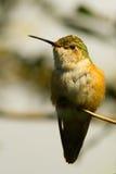 Streamertail hummingbird Stock Photos