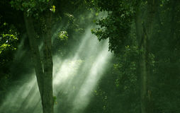 Streaming light through forest. Streaming light through forest's canopy Stock Photography
