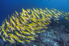 Streaming school of yellowtail snapper fish. Royalty Free Stock Photo