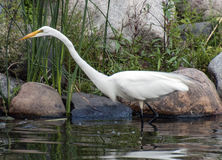 Streamlined egret. A streamlined egret walks through the water in a park in Edina, Minnesota Royalty Free Stock Images