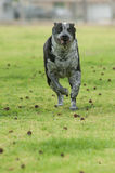 Streamlined for speed. Pit heeler mix has ears pulled back to run Stock Photos