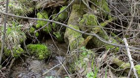Streams of a mountain stream, river among the moss-covered trees. HD stock footage
