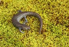 Streamside Salamander Royalty Free Stock Image