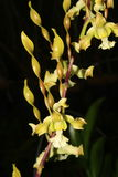 Strebloceras de Dendrobium Image libre de droits